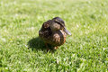 Duck walking on green summer meadow nature ornithology and birds concept Royalty Free Stock Photos