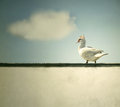 A duck walking on the ledge of the wall with sky and a cloud on the background Stock Images