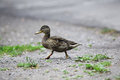Duck walking in park Royalty Free Stock Photo