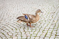 Duck walking on the tiled floor Royalty Free Stock Image