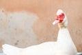 Duck white in the farm Stock Photo