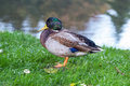 Duck wild on the grass Stock Photography