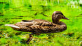 Duck wild on a pond croatia image shows also fish chubs under water and s legs Stock Images