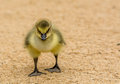 Duckling with a attitude out for a stroll Royalty Free Stock Photography