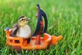 Duckling with boat a mallard on a toy in the grass Royalty Free Stock Photo