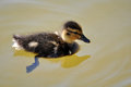 Duckling close up in warm light Stock Photo