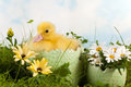 Duckling with daisies Stock Photos