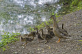 Duckling Family By a Pond Stock Images