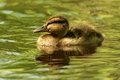 Duckling Glint Royalty Free Stock Photo