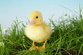 Duckling in grass Royalty Free Stock Image