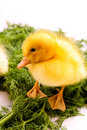 Duckling on green grass Royalty Free Stock Photo