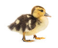 Duckling little cute on white background Stock Photo