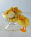 Duckling love two ducklings in a parfait dish sleeping on jelly beans with another standing beside them Royalty Free Stock Photography