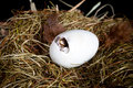 Duckling making a hole little unborn trying to make in his egg Royalty Free Stock Images