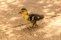 Duckling never head this guy quack Stock Images