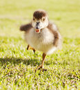 Duckling in the run Stock Photography