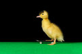 Duckling skate two Stock Photos