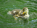 Duckling splashing in the water Royalty Free Stock Images