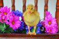 Duckling standing on a chair cute live with fresh flowers Royalty Free Stock Images