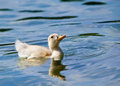 Duckling swimming in the lake Royalty Free Stock Photo