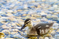 Duckling swimming on pond Royalty Free Stock Photo
