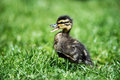 Duckling tiny running through grass quacking Stock Photo