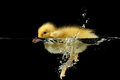 Duckling water Stock Photos