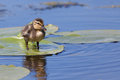 Duckling on a water lily leaf Stock Photo