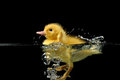 Duckling water two Stock Photo