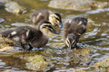Ducklings baby learning how to search for food amongst the rocks on the waters edge Royalty Free Stock Photo