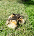 Ducklings cute little having a sleep together Royalty Free Stock Images