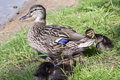 Ducklings duck with a brood of Royalty Free Stock Image