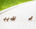 Ducklings go across the road Royalty Free Stock Photos