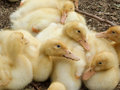 Ducklings a group of resting in melbourne victoria australia Royalty Free Stock Images