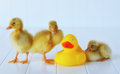 Ducklings with a rubber duckie three lined up Stock Photo