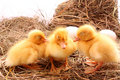 Ducklings sleep Royalty Free Stock Photo