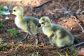 Ducklings struggle to take first steps wild their in the wild these duckling are about a month old and have about a fifty percent Royalty Free Stock Images