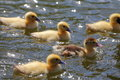 Ducklings swimming in the water Stock Photo