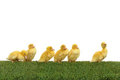 Ducklings walk two Stock Photo