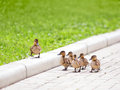 Ducklings walking on the road Stock Photography