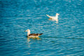 Ducks in blue water Royalty Free Stock Photo