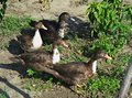 4 ducks caught eating vegetables in garden Royalty Free Stock Photo
