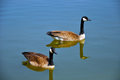 Ducks in chicago botanic garden pond Royalty Free Stock Images
