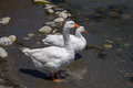 Ducks in the Cretan river. Royalty Free Stock Photo