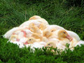 Ducks duck chicks sleeping in the sun Royalty Free Stock Photo