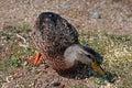 Ducks in estes park colorado near rocky mountain national usa Stock Photos