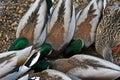 Ducks in estes park colorado near rocky mountain national usa Royalty Free Stock Photo