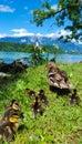 Ducks Family at Lake Bled, Slovenia.