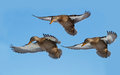 Ducks in flight Royalty Free Stock Photography