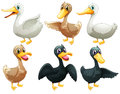 Ducks and geese illustration of the on a white background Stock Photos